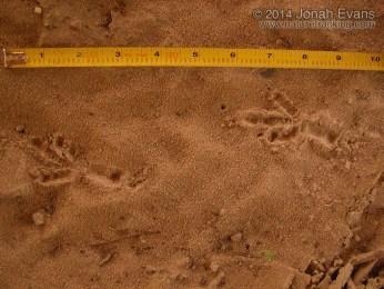 Crow Tracks
