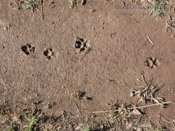Dog Gallop Tracks