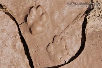 Gray Fox Tracks