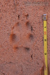 Red Fox Track