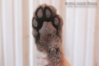 Mountain Lion Front Foot