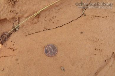 Horned Lizard Tracks
