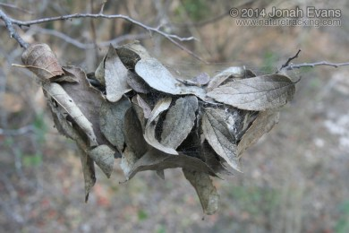 Spider Leaf Nest