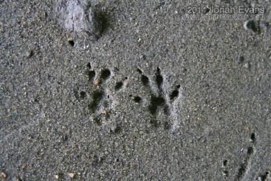 Eastern Chipmunk Tracks