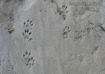 Eastern Gray Squirrel (Right) and Mink Tracks