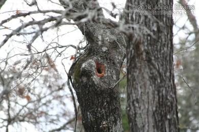 Fox Squirrel Hole