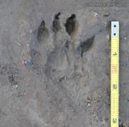 Yellow-bellied Marmot Tracks