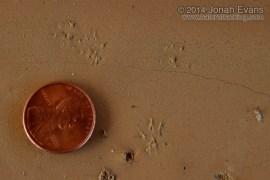Peromyscus Tracks