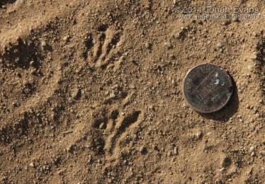 Pocket Gopher Tracks