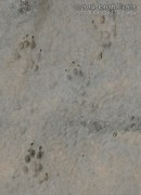Rock Squirrel Tracks