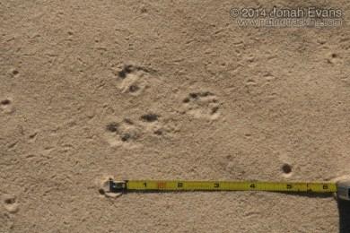 White-throated Woodrat Tracks