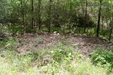 Feral Hog Rooting