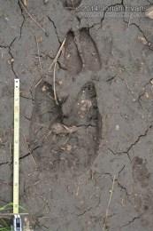 Llama and Deer Tracks