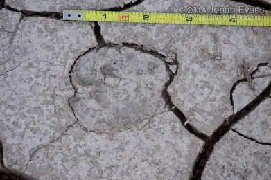 Peccary Tracks