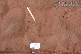 Great Horned Owl Tracks