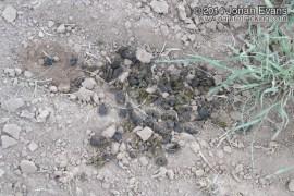 Pronghorn Scat