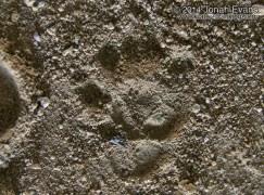 Spotted Skunk Tracks