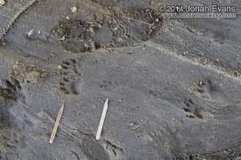 Gray Fox and Raccoon Tracks