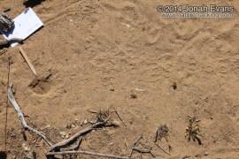 Kangaroo Rat Burrow
