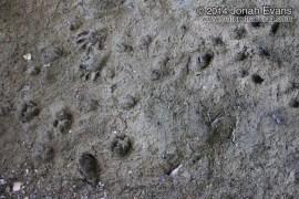Bobcat, Raccoon, Skunk, Fox Tracks