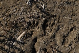 Raccoon Track