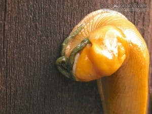 Banana Slug & Scat
