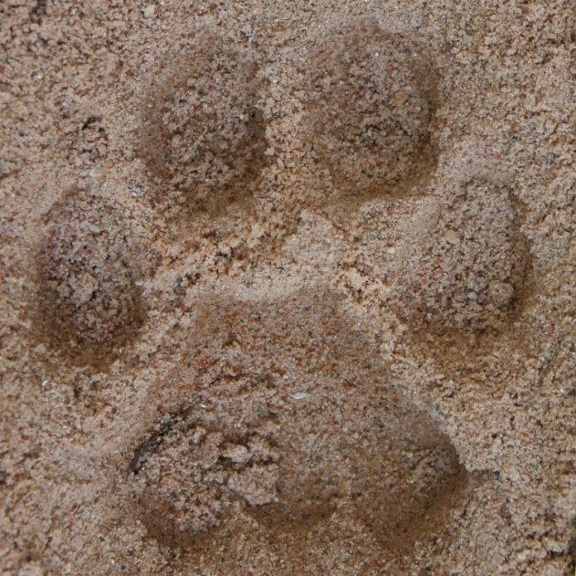 Left Hind Mountain Lion Track