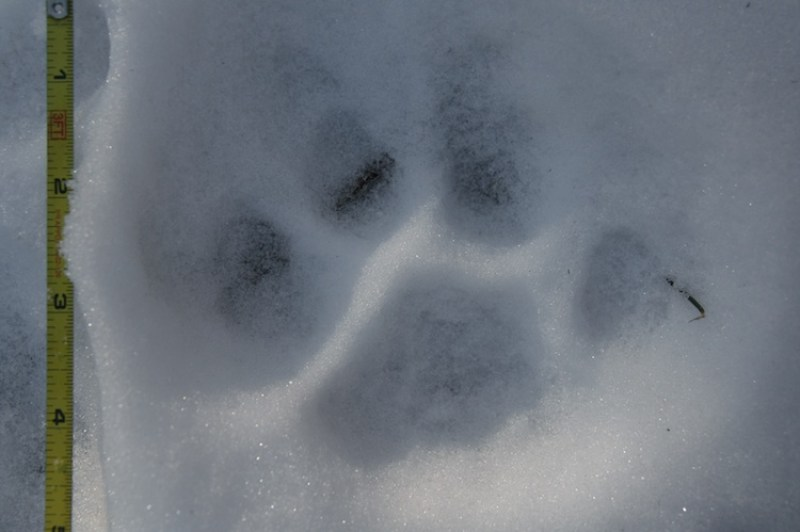 Mountain Lion Track in Snow
