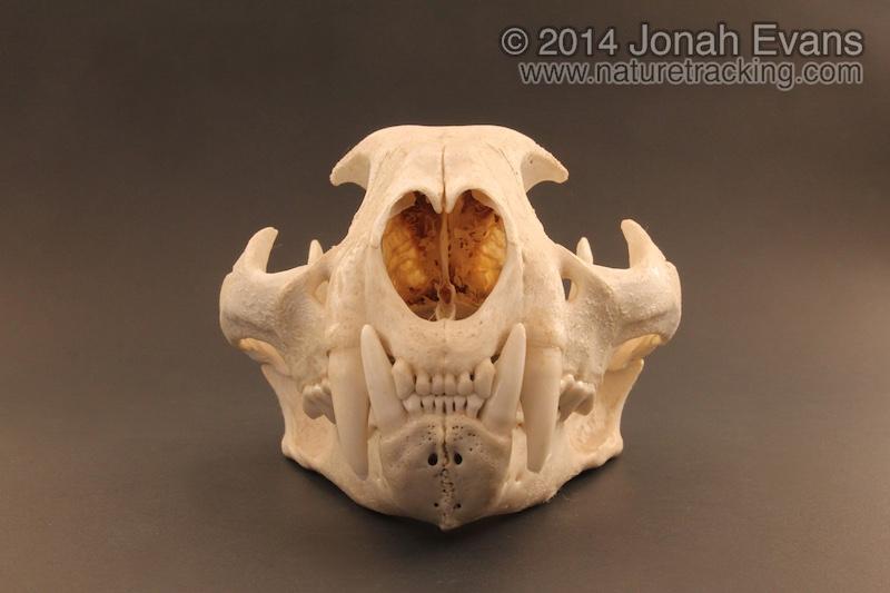 Mountain Lion Skull 3 – NatureTracking