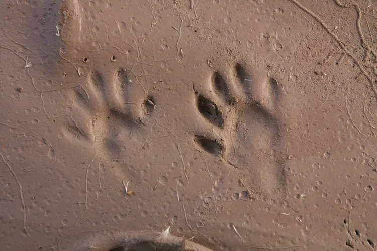 Raccoons show 5 long toes in the front and hind tracks. The track on the left is the left front and the track on the right is the right hind.