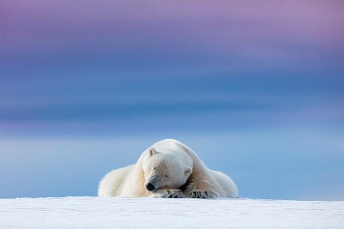 Wild Portraits Category: 'Sleepy Polar Bear' by Dennis Stogsdill