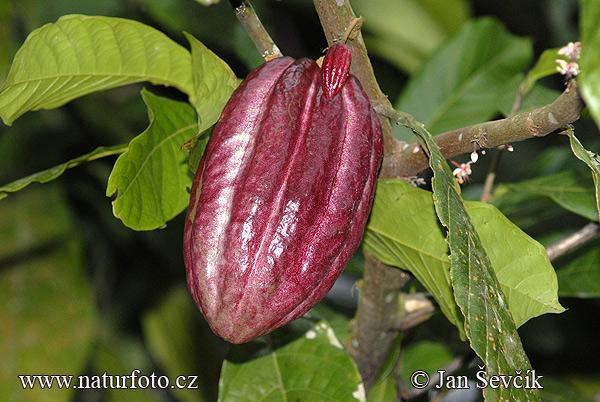 Kakao Baum Bilder Kakao Baum Fotos  NaturFoto