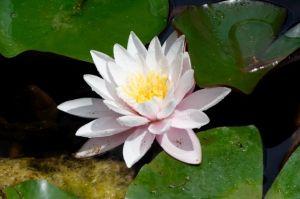 Lotus für Geschenkgutscheine