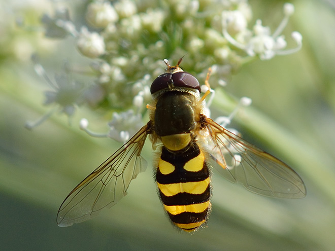 Schwebfliegen im Naturgarten