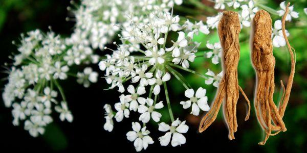 angelica-sinensis
