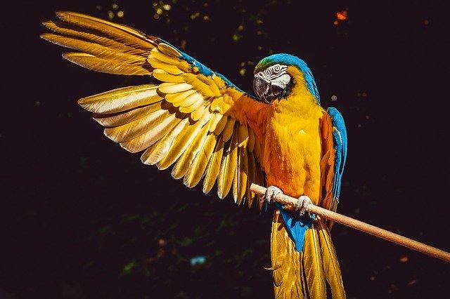 papagøye