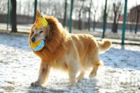 Lions Mane Dog Costume | naturoPETic