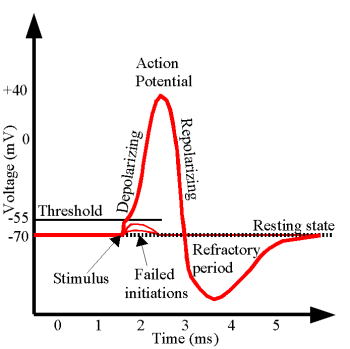 A graph showing the typical amplitude of an action potential in the human nervous system.