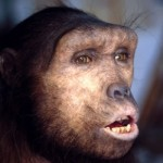 A reconstruction of Sahelanthropus Tchadensis - an extinct homininae species that is dated to about 7 million years ago, possibly very close to the time of the chimpanzee–human divergence.