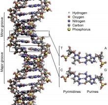 The helical model of DNA, comprising the chemical elements: hydrogen, oxygen, nitrogen, carbon and phophorous.