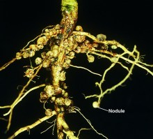 A photograph showing the nitrogen-fixing nodules on a soybean plant rhizome.
