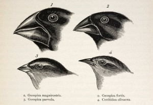 An original illustration by Charles Darwin of his famous Galapagos finches.
