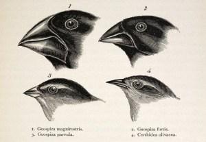 Darwins' original drawings of Galapagos Finches.