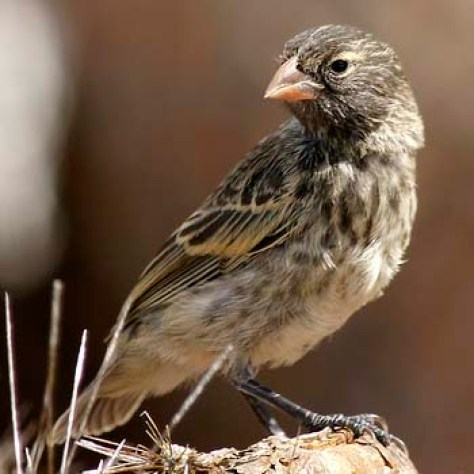 A close-up photograph of a female Medium Ground Finch from South Plaza Island.