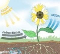 A drawing explaining a plant's photosynthesis cycle, using sunlight to absorb and process carbon dioxide into a source of energy and oxygen.
