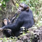 A photograph showing a pair of female and baby chimpanzees in their natural habitat.