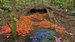 A photograph showing the bower of a Vogelkop Bowerbird (Amblyornis inornata) ornated with bright decorations.