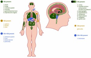 An anatomical diagram illustrating the locations of the main receptors in the human endocannabinoid system.
