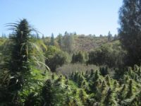 A photograph showing a Cannabis field, growing outdoors somewhere in Oregon, United States.