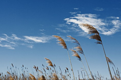 A photograph showing blue sky and the wind blowing through a field of oats.
